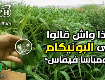 زراعة البونيكام مومباسا فيفاس في الجلفة و بسكرة